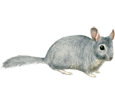 Chinchilla image
