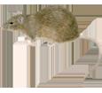 Brown Rat image