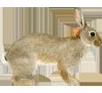 European Rabbit image
