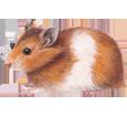 Golden Hamster image